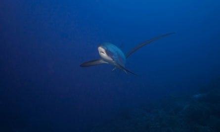 A thresher shark: a rarer fish that is hard to photograph, but found in the same location as oceanics.