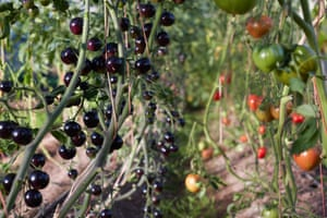 Tomatoes at Fern Verrow. Some 12 varieties of tomatoes are all grown for their interesting and delicious taste.