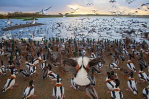 Ducks, geese and wildfowl gather as a volunteer distributes wheat feed at Martin Mere wetland centre in Merseyside, UK