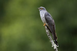 A cuckoo sits on a perch in the rain on Thursley Common, England