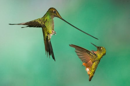 A sword-billed hummingbird (left) and a chestnut-breasted coronet in Ecuador.
