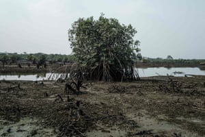 A mangrove tree on oily mud at low tide near the village of K-Dere, in Ogoniland, part of the Niger Delta region