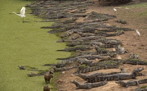 Alligators, capybaras and egrets stand on the banks of the Bento Gomes River.