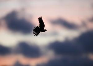 A European nightjar in flight over Norfolk heathland