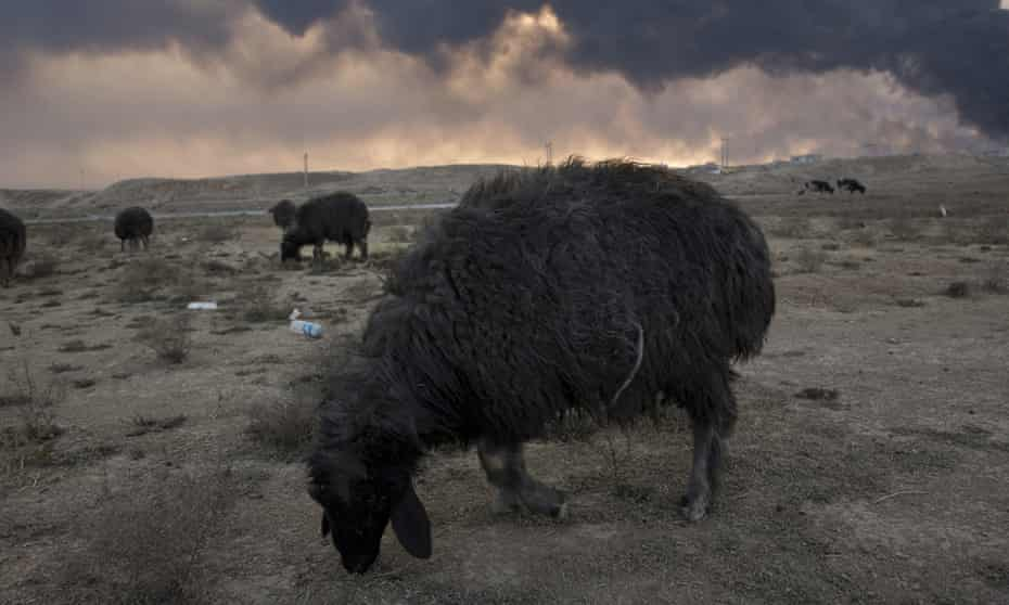 Sheep blackened by the soot from oil fires started by Isis militants are seen in Qayyarah, south of the Iraqi city of Mosul