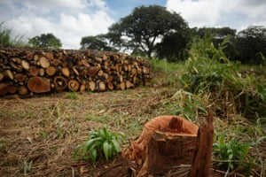 Wood collected for charcoal burning in Koch Lii, Nwoya district, Northern Uganda