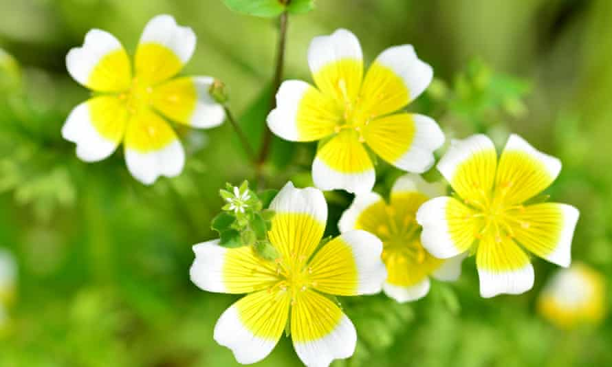 Cheery and useful … the poached egg plant.