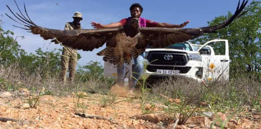 Merlyn Nomusa Nkomo releasing a Martial eagle with a GPS tracker at Kruger national park.