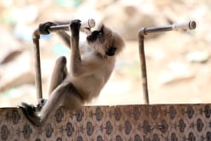 A langur monkey drinks water from a tap on a hot day on the outskirts of Ajmer in the Indian state of Rajasthan
