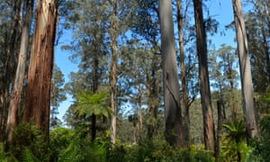 tall eucalypts in a forest