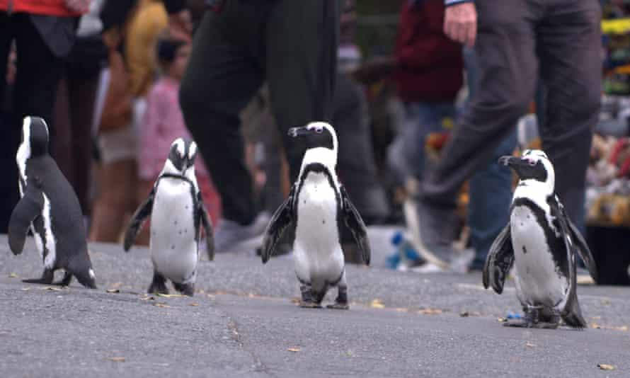 The Reservoir Dogs of the penguin world ... Penguin Town.