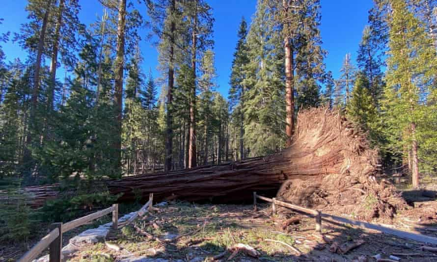 Aa fallen giant sequoia that came down on Monday night. Trees also crushed trucks and damaged buildings, including employee homes.