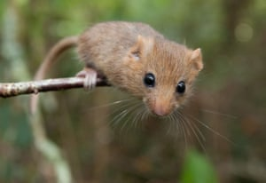 Since 1993 reintroductions of captive-bred dormice into the wild have been taking place as part of a national species recovery plan. To date, there have been 26 reintroductions in 12 counties, with mixed success. The most recent release took place in June, when 20 breeding pairs were reintroduced in the Yorkshire Dales national park
