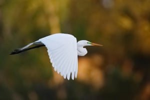 Great egret in flight, Venice, Florida