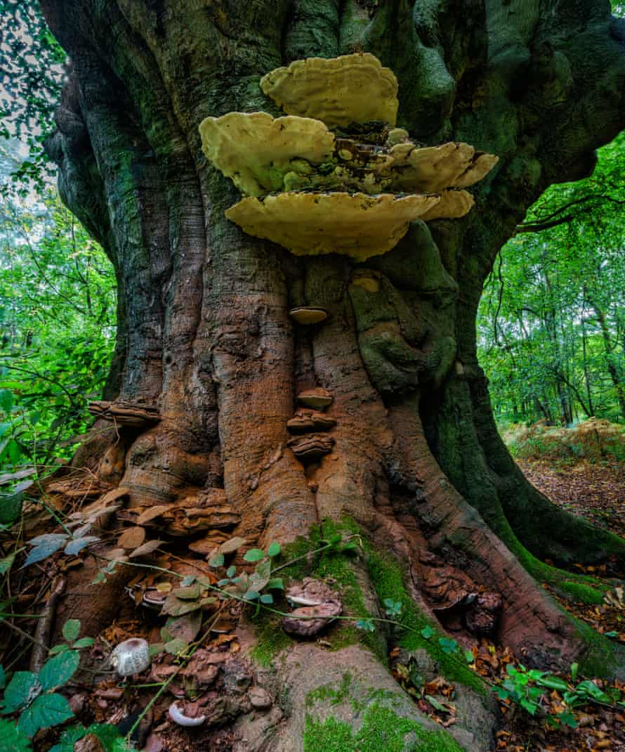 The ancient beech with bracket fungus