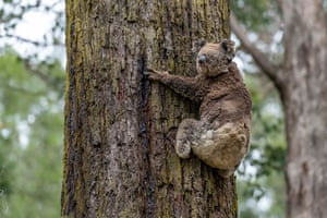 A female koala with singed fur climbs a tree, after getting the all clear from a vet to return to the wild. She was also released at Log Crossing in the Colquhoun state forest.