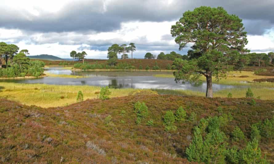 Abernethy Forest in Scotland