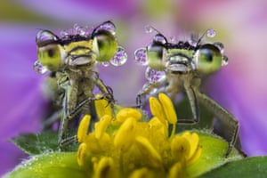 Damselflies covered in dew rest on a wild flower by the Po River, Northern Italy