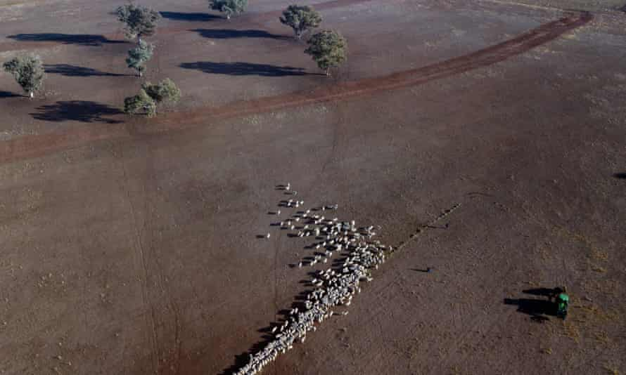 An aerial view of cattle on a dry paddock in the drought-hit area of Quirindi in New South Wales in 2018