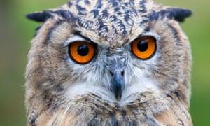 Eurasian Eagle Owl face