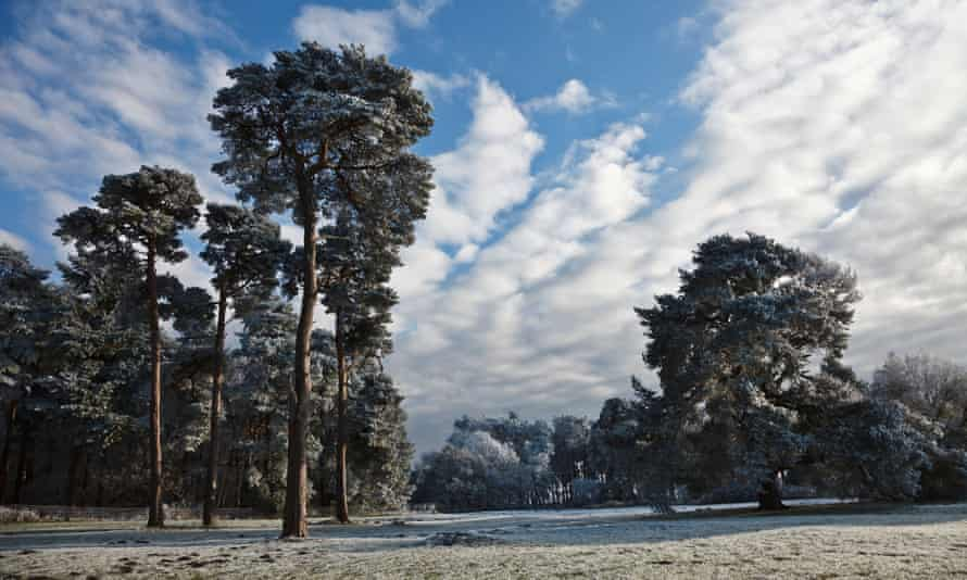 Frost-covered pine trees near Elveden, Suffolk