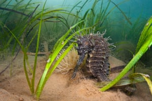 Spiny seahorse among plants in Studland Bay in Dorset, UK