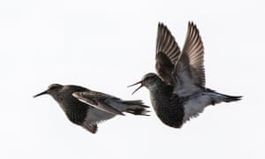 Male pectoral sandpipers go to great lengths literally to mate with as many females as possible by flying between distant breeding sites hundreds of kilometres apart within a single breeding season.