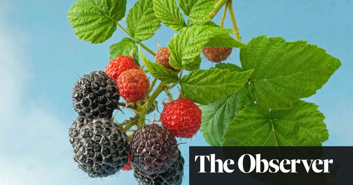 Gardens Is It A Blackberry Is It A Raspberry Fruit The Guardian