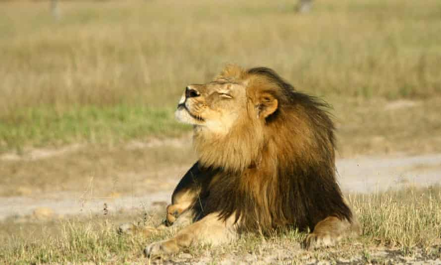 Cecil the lion is seen at Hwange National Parks in this undated handout picture.