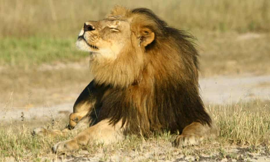 Cecil the lion in Hwange national park, Zimbabwe. Photograph: Reuters