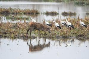 Deer and storks in the Salburua wetland, Vitoria-Gasteiz, Spain.