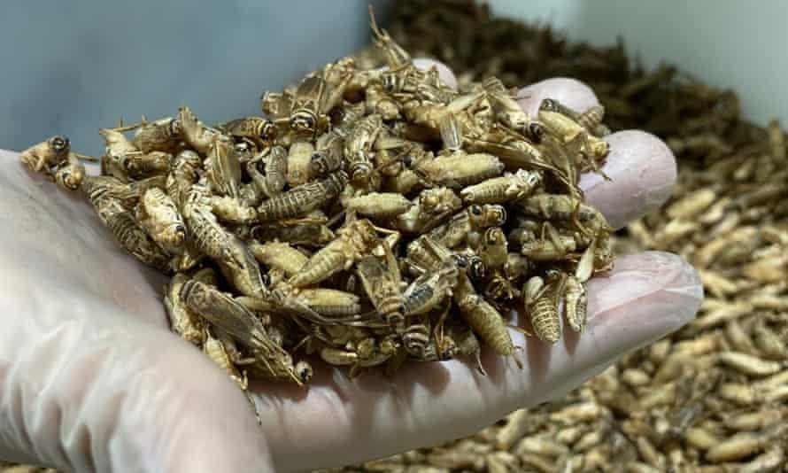 Crickets at Origen Farms in Spain.