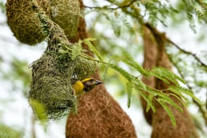 A weaver bird rests in a nest on a tree on the outskirts of Ahmedabad, India