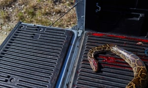 The body of a dead python lays in the bed of brothers Matt and Ryan Briggle's truck.