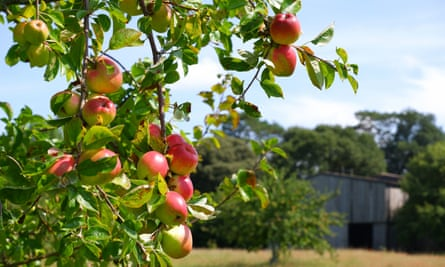 Apples ripening at Cotehele in Cornwall