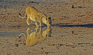 A lioness is reflected in the still waters of a dam on in Kruger National Park, South Africa