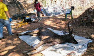 The deer found dead in Khun Sathan national park in Thailand after swallowing 7kg of plastic bags and other rubbish.