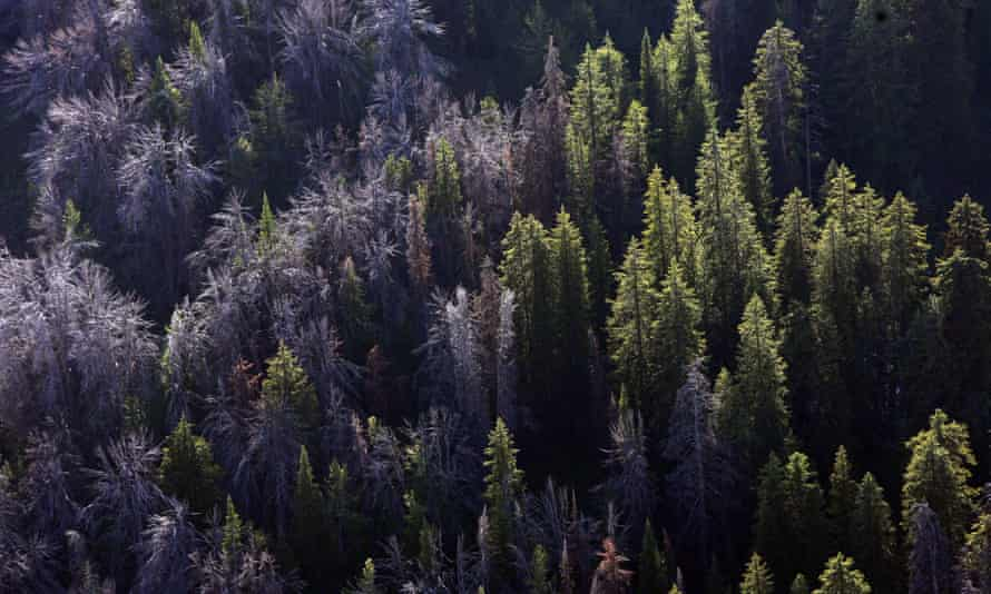 US officials say climate crisis, beetles and disease are imperiling the whitebark pine tree.