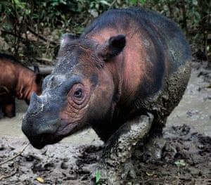 A Sumatran rhino, one of the most endangered mammals on Earth