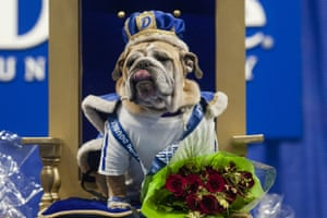 Des Moines, US. Myrtle Mae is named winner of the Beautiful Bulldog contest at Drake University's Knapp Center in Iowa. Twenty-one English bulldogs competed for the title
