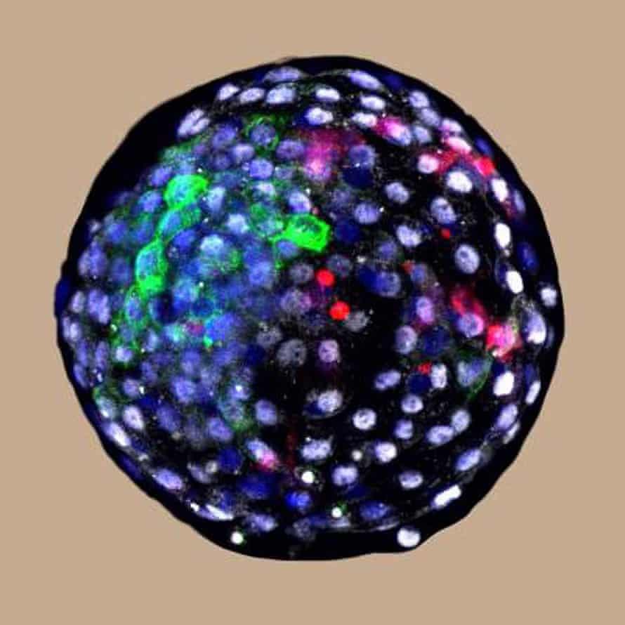 سلولهای انسانی (قرمز) رویان میمون آزمایشگاهی رشد می کنند.