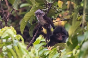 A Raffles' banded langur and its baby feed on plants in Singapore's Central Catchment nature reserve