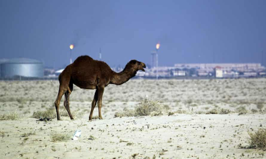 A camel in the desert of southern Iraq