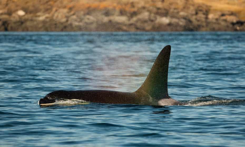 An orca surfaces off San Juan Island, Washington.
