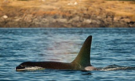 A pod of orcas is starving to death. A tribe has a radical plan to feed them