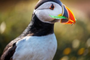 An Atlantic puffin (Fratercula arctica) carries a strip of green plastic rubbish collected for nesting material in its burrow on Skomer, west Wales.