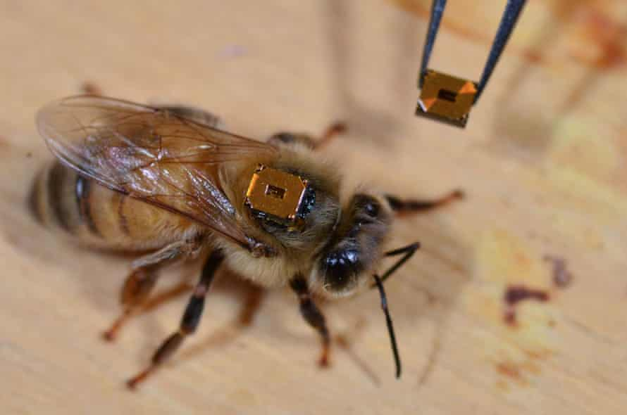 A honeybee worker has a radio-frequency identification tag attached to its back