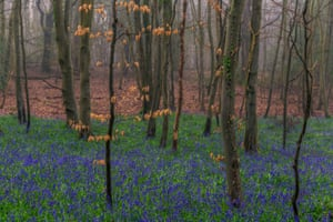 Bluebells in Kingley Vale national nature reserve, West Sussex, England. In the forest are yew trees dating back 2,000 years, as well as oak, ash, holly and hawthorn.