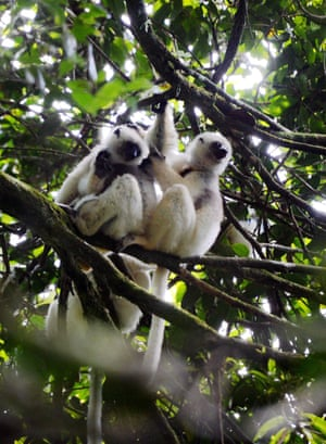 Golden-crowned sifakas in Marojejy national park, Madagascar. Of the 123 species of non-flying mammals in the country, 72 are on the IUCN Red List of threatened species, threatened by illegal logging and hunting of lemurs for meat.