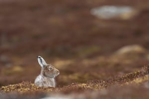 A mountain hare in the cairngorms national park, Scotland